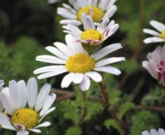 Marokkaanse Kamille (Anacyclus pyrethrum var. depressus)