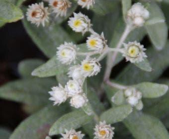 Siberische Edelweiss (Anaphalis triplinervis 'Sommerschnee')