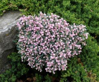 Lavendelheide (Andromeda polifolia 'Blue Ice')