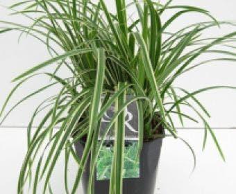Zegge (Carex morrowii 'Ice Dance')