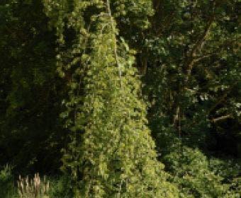 Treurhaagbeuk (Carpinus betulus 'Pendula')