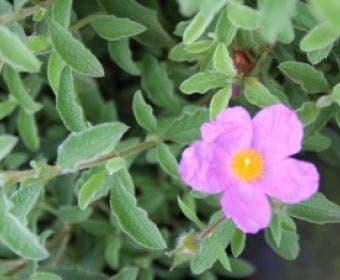 Cistus (Cistus creticus)