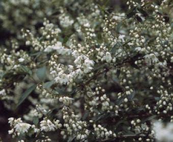 Bruidsbloem (Deutzia gracilis)