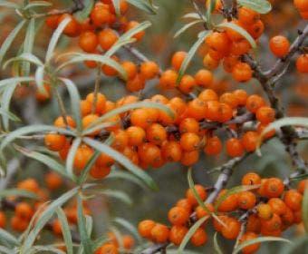 Duindoorn (Hippophae rhamnoides 'Polmix')