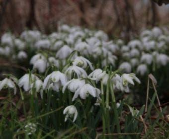 Sneeuwklokjes (Galanthus Nivalis 'Flore Pleno')