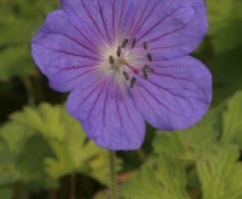 Ooievaarsbek (Geranium himalayense 'Gravetye')