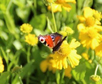 Zonnekruid (Helenium autumnale 'Pumilum Magnificum')