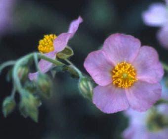 Zonneroosje (Helianthemum 'Lawrenson's Pink')