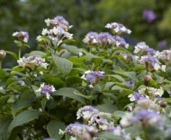 Hortensia (Hydrangea involucrata)