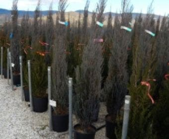 Jeneverbes (Juniperus scopulorum 'Blue Arrow')