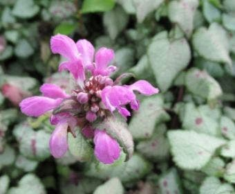 Dovenetel (Lamium maculatum 'Beacon Silver')