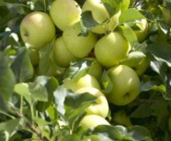 Appelboom (Malus domestica 'Greensleeves')
