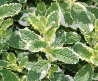 Witte/Appelmunt (Mentha rotundifolia 'Variegata')