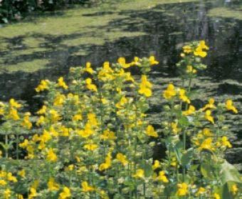 Gele apebloem (Mimulus luteus)