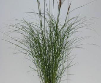 Chinees riet, Sierriet (Miscanthus sinensis 'Kleine Silberspinne')