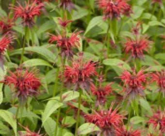 Bergamotplant/Hanekam (Monarda 'Squaw')