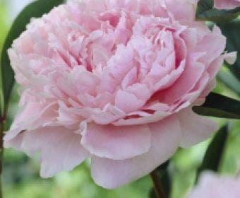 Pioenroos (Paeonia 'Sarah Bernhardt')