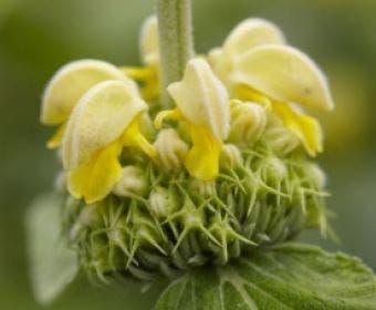 Viltkruid (Phlomis russeliana)