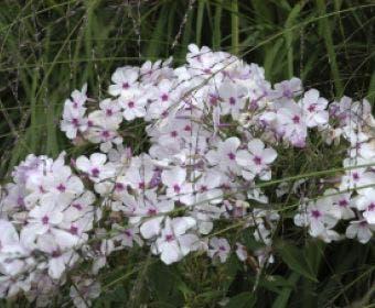 Kruipphlox (Phlox subulata 'Amazing Grace')