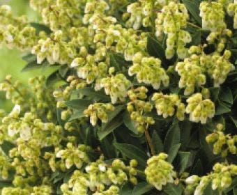 Rotsheide (Pieris japonica 'Cupido')