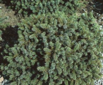 Dwergspar (Picea glauca 'Echiniformis')