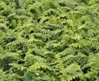 Niervaren (Polystichum polyblepharum)