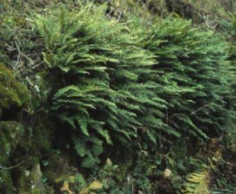Eikvaren (Polypodium vulgare)