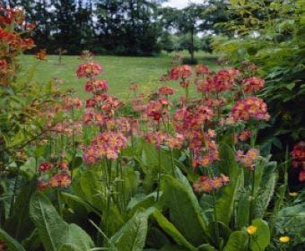 Sleutelbloem (Primula bullesiana)