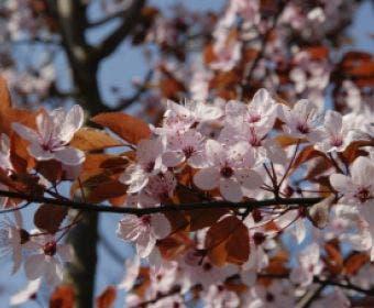 Rode kerspruim als dakboom (Prunus cerasifera 'Nigra')