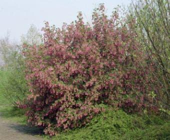Ribes (Ribes sanguineum 'King Edward VII')