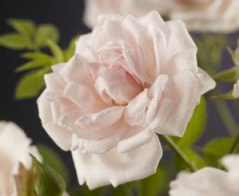Klimroos (Rosa 'New Dawn')