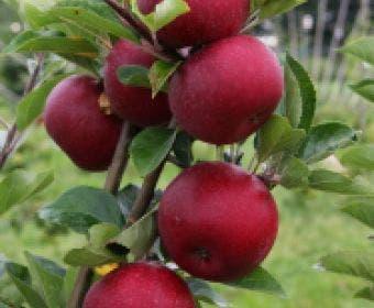 Appelboom (Malus domestica 'Rosette')