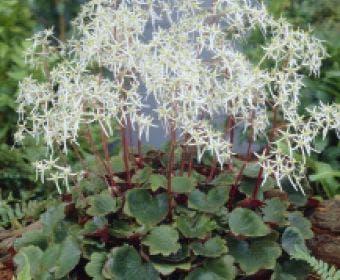 Steenbreek (Saxifraga cortusifolia 'Rubrifolia')