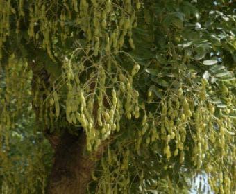 Japanse pagodeboom (Sophora japonica)