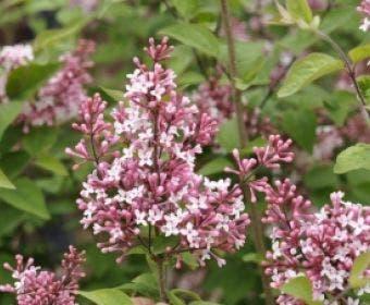 Sering (Syringa microphylla 'Superba')