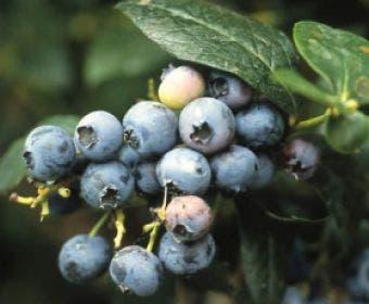 Bosbes (Vaccinium corymbosum)