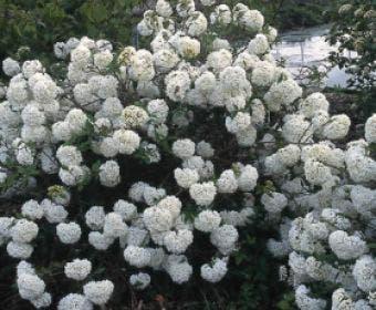 Sneeuwbal (Viburnum 'Eskimo')