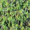Koperknoopje (Leptinella squalida)