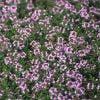 Tijm (Thymus praecox 'Coccineus')