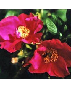 Rimpelroos (Rosa rugosa 'Rubra')