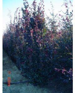 Rode Beukenboom (Fagus sylvatica 'Purpurea Latifolia')