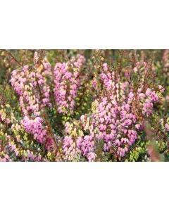 Winterheide paars-roze (Erica darleyensis 'Rubina') 20/25cm