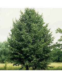 Lindeboom (Tilia cordata 'Greenspire')