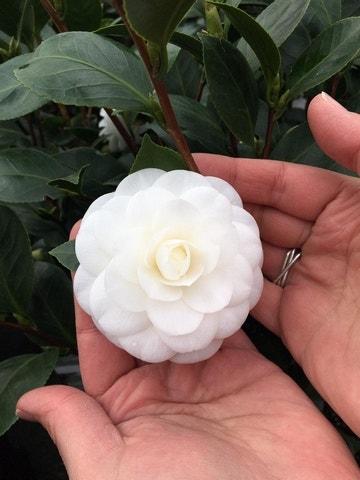 Camelia (Camellia japonica 'Nuccio's Gem')-30/40 cm-Plant in pot. Kleur: wit