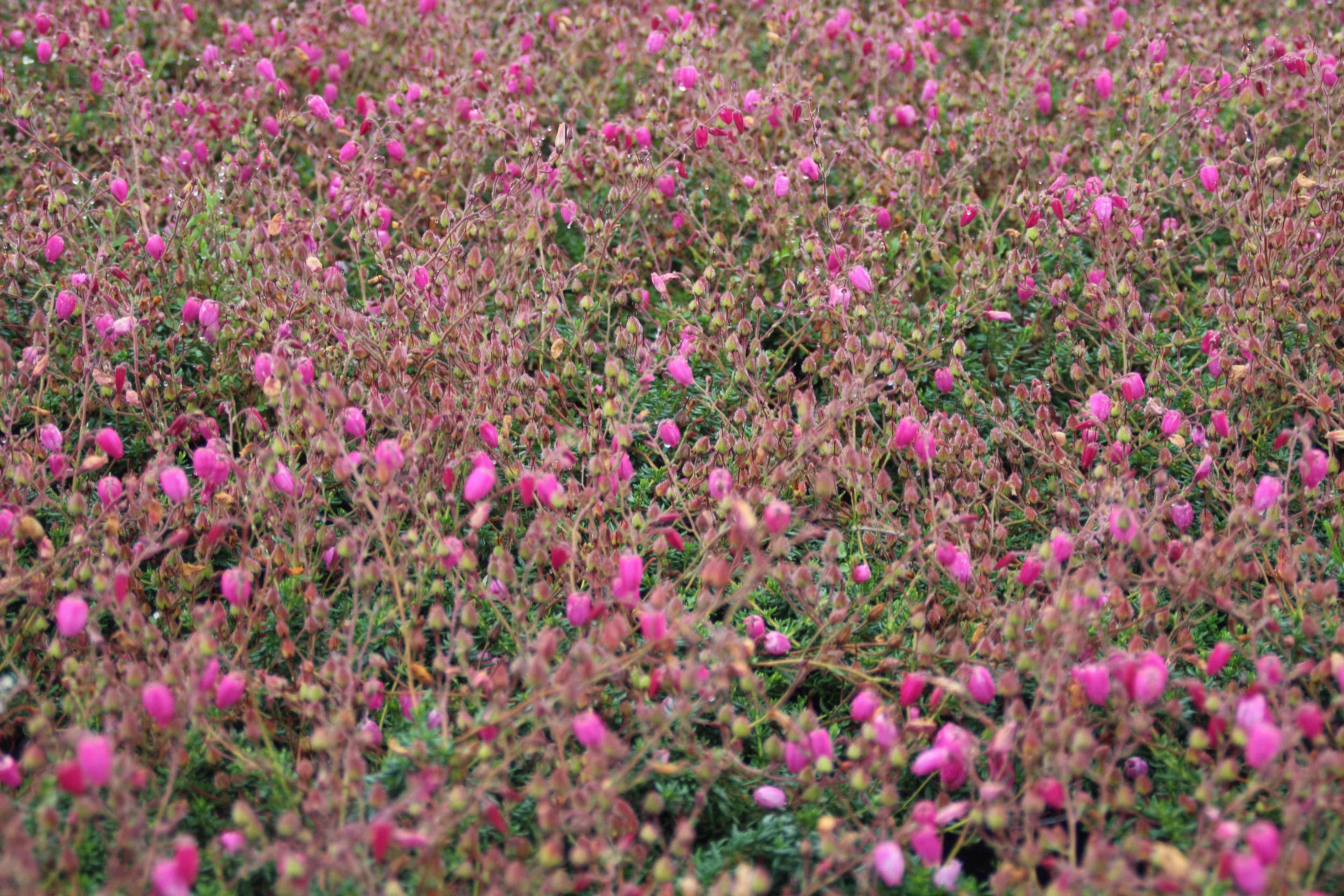 Ierse hei roze-paars (Daboecia cantabrica 'Cupido') 15/20 cm