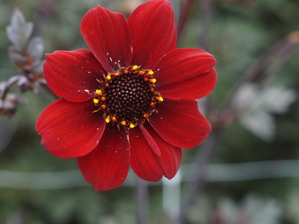 Dahlia 'Bishop of Auckland'-Bloembol-per 1. Kleur: rood