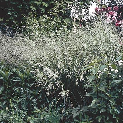 Smele (Deschampsia cespitosa)-Plant in pot-C2