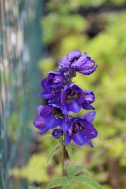"Ridderspoor (Delphinium 'Black Knight'). Kleur: [""blauw"", ""paars""]"