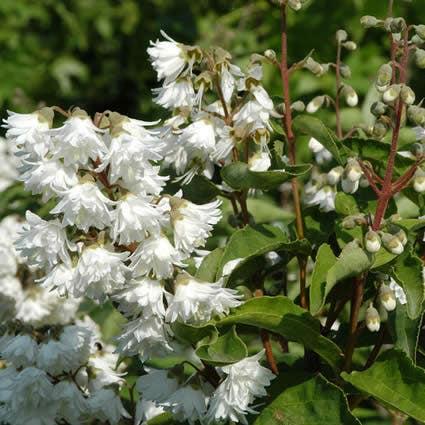 Bruidsbloem (Deutzia scabra 'Plena') - 30/40 cm.. Kleur: wit