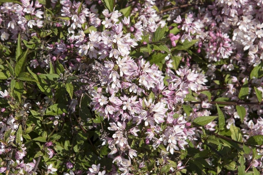 Deutzia (Deutzia Rosea 'Yuki Cherry Blossom'-Plant in pot-25/30 cm. Kleur: roze